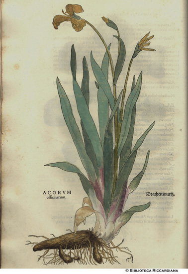 Acorum officinarum (Acoro officinale), p. 12